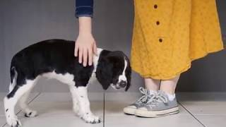 Weeks 814 with an English Springer Spaniel Puppy!