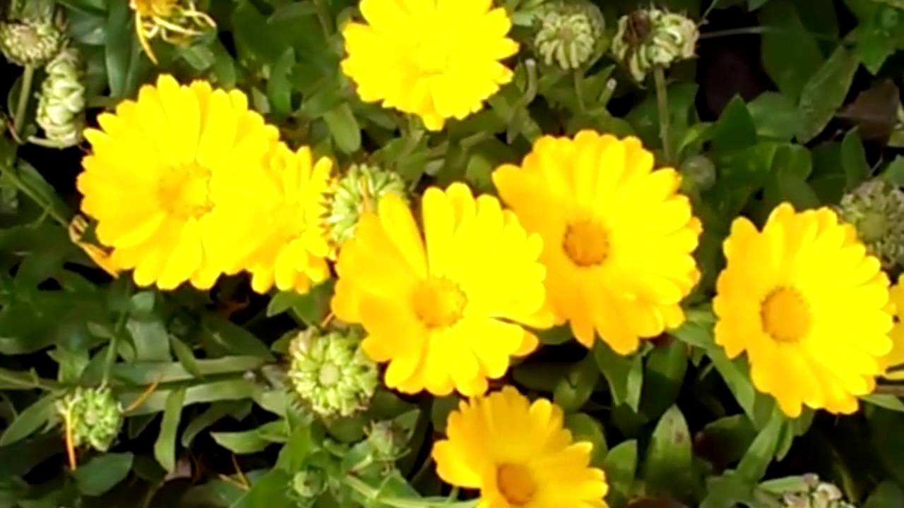 Hd beautiful yellow flowers nature video youtube hd beautiful yellow flowers nature video izmirmasajfo