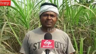 गोरखपुर : गन्ना किसानों की बेरुखी को सरकार ने भांपा, मिलेगी खास सुविधा