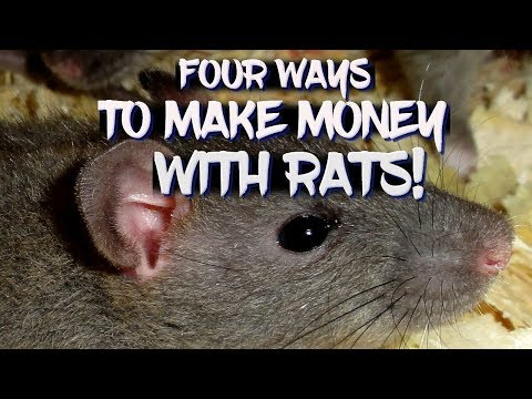 Four Ways To Make Money With Rats!