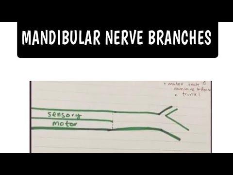 Trigeminal Nerve - Mandibular Branch.