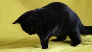 Котята для Вас!  Элитные чистокровные клубные шотландские черные котята.