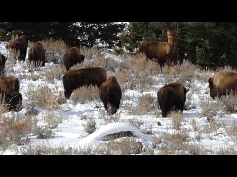 Winter bison herd in Yellowstone NP