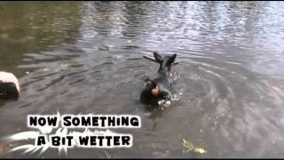Miniature Pinscher - Frisbee & Swimming