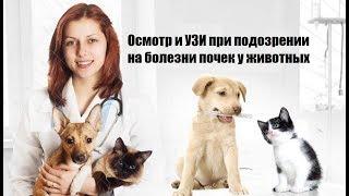 Осмотр и УЗИ при подозрении на болезни почек у животных