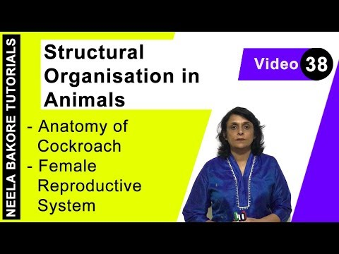 Structural Organisation in Animals - Anatomy of Cockroach - Female Reproductive System