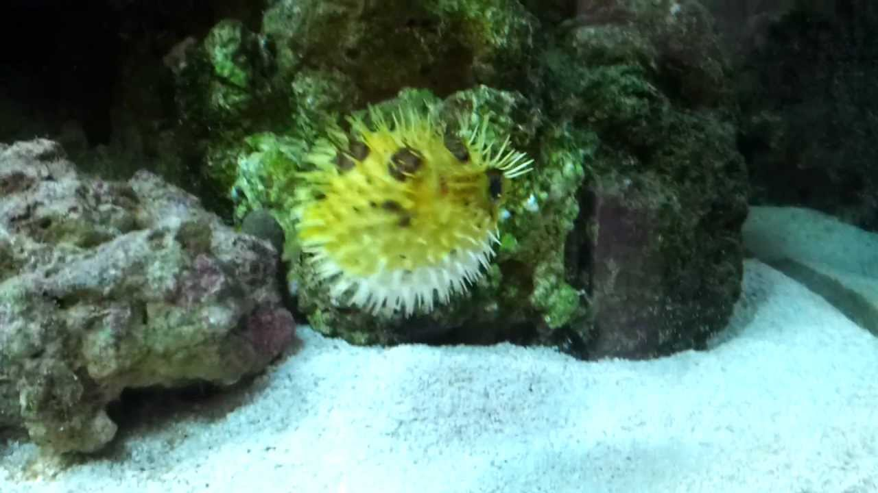 Puffleigh yellow porcupine puffer all puffed up youtube for Puffer fish puffing