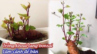 Trồng khoai lang bonsai làm cảnh để bàn nảy mầm sau 7 ngày