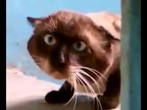 Коты голос видео