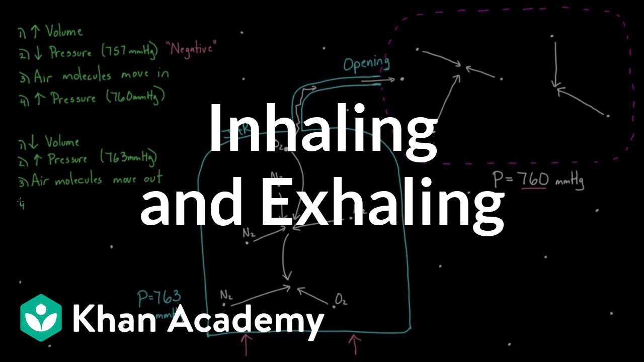 Inhaling and exhaling   Respiratory system physiology