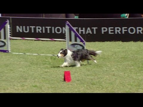 Full Small Dog Agility Competition - 2017 Purina® Pro Plan® Incredible Dog Challenge® Eastern