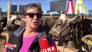 Miss-Kuh-Wahl in Vorarlberg ORF Daheim in Österreich
