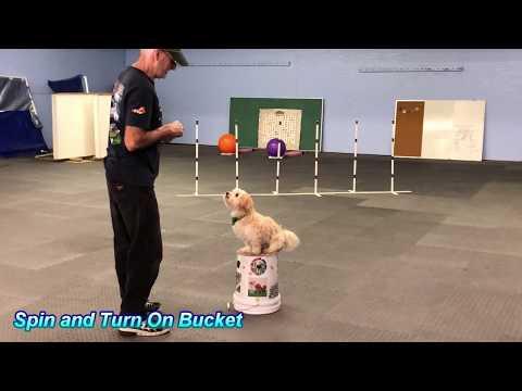 Nikkey the Havanese Dog Rockin his Tricks with Ron