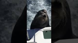 بالفيديو: حيوان فقمة يقتحم قارباً سريعاً بحثاً عن السمك