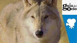 El último lobo ( Wolf Totem ) - Trailer castellano