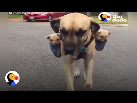 Dog Carries Puppies on His Back | The Dodo