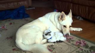 シェパードの仔ヤギに対する深い愛情と優しい表情に感動!