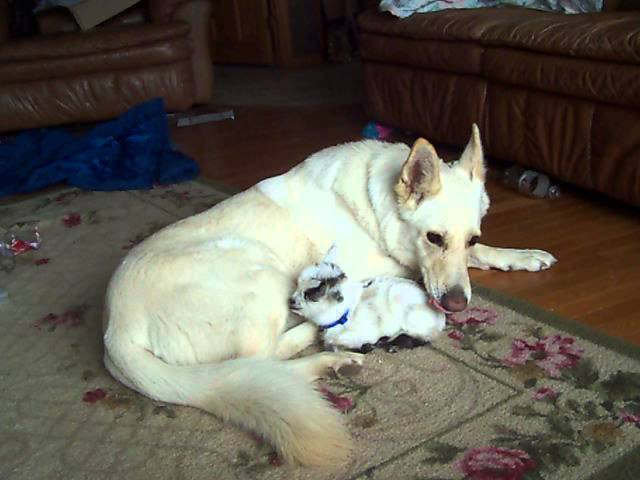 White German Shepherd cuddles baby goat