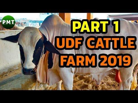 UDF Cattle Farm Collection 2019 Part 1 | Bakra Eid 2019 | Cattle Market Karachi | Cow Mandi 2019
