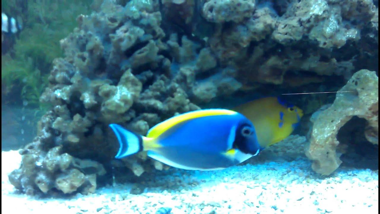 Jenny jenna saltwater fish tank sun flower powder blue for Blue saltwater fish