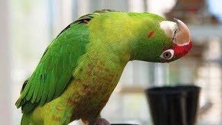 Parrots Meowing Like Cats Compilation thumbnail