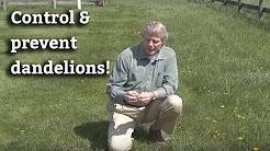 How to Control & Prevent Dandelions - Lawn Care Tips & Dandelion Prevention
