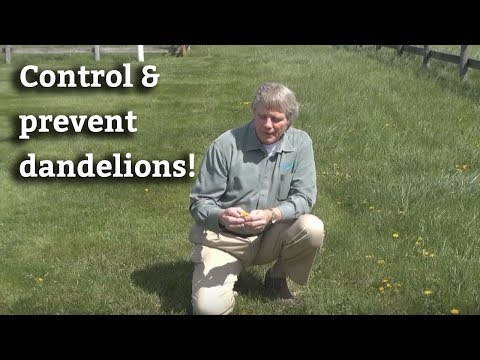 How to Control & Prevent Dandelions - Lawn Care Tips & Dandelion Prevention