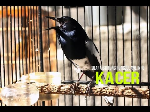 Masteran Burung : Suara Burung Kacer Gacor Juara Nasional HD