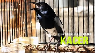 Video Masteran Burung : Suara Burung Kacer Gacor Juara Nasional HD download MP3, 3GP, MP4, WEBM, AVI, FLV Oktober 2018
