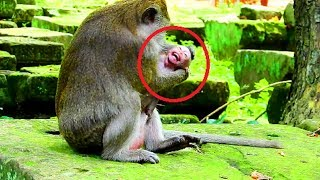 Terrify ! Dolly fight Polly seriously , Polly convulsive cos this monkey maltreat