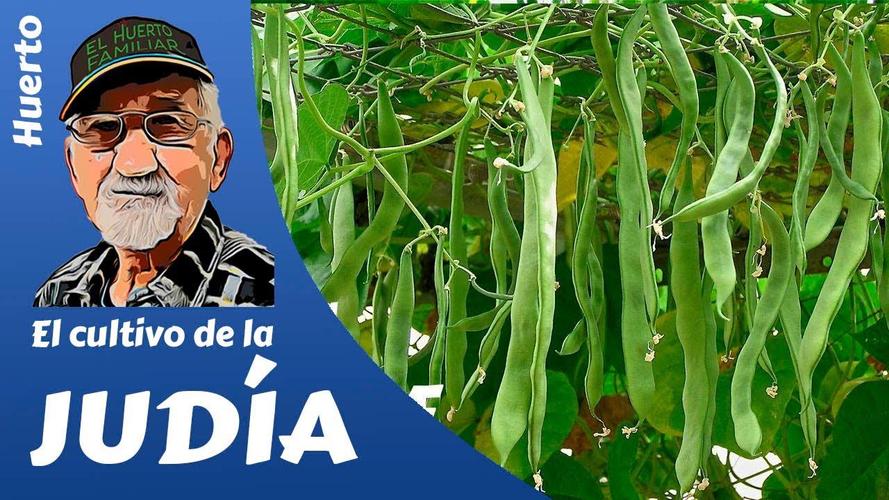 El cultivo de la judia verde y el boliche youtube - Cortar hierba alta ...