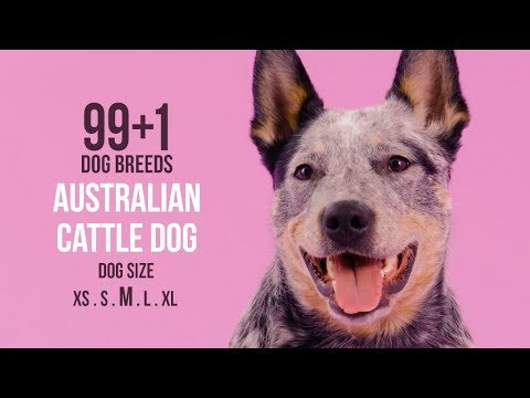 Australian Cattle Dog / 99+1 Dog Breeds