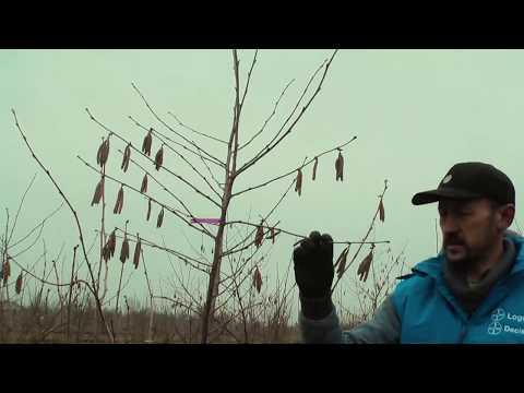 Формировка деревьев фундука с высоким штамбом