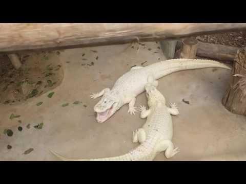 Albino Missisippi Alligators Fighting  EXCLUSIVE
