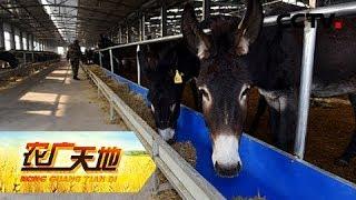 《农广天地》 20190510 倔驴顺养 獭兔肉香| CCTV农业