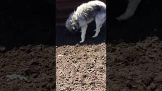 Собака ест червей