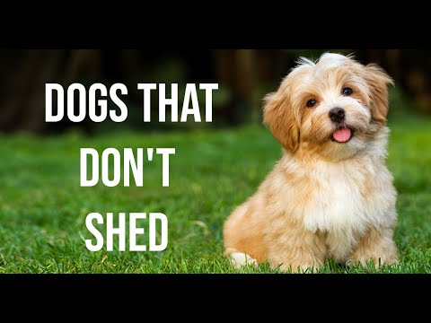 20 Adorable Hypoallergenic Dogs That Don't Shed | Dog Is World