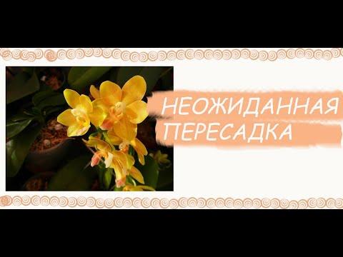 Неожиданная пересадка орхидеи. Полная импровизация - Марфа осталась спокойной))).
