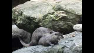 Sea Otters Having Sex at Syndey Zoo