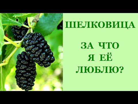 Шелковица: выращивание и размножение.
