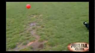 Ce petit Chien essaye de chopper un ballon beaucoup trop gros pour lui !