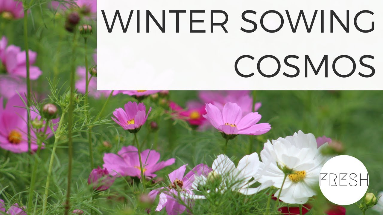 Winter Sowing Cosmos Seeds Growing Flowers From Seed Gardening For