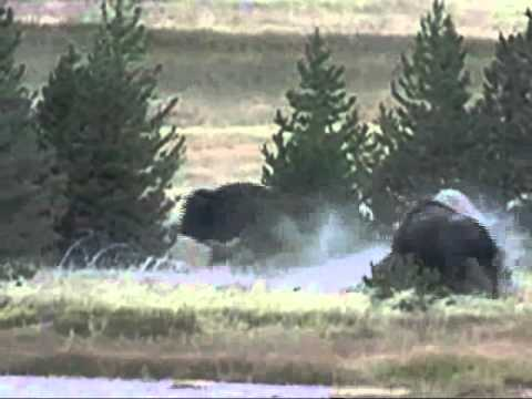Awesome bison fight capture on Old Faithful Yellowstone webcam