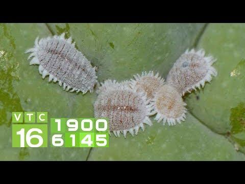 Kinh nghiệm diệt rệp sáp hại cây trồng I VTC16