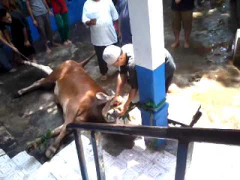 penyembelihan sapi pp alkho