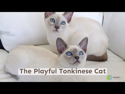 The Playful Tonkinese Cat