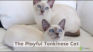The Playful Tonkinese Cat