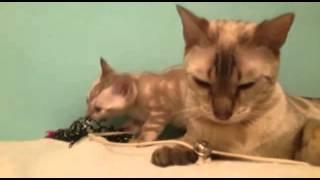 Бенгальский котёнок светлый мрамор