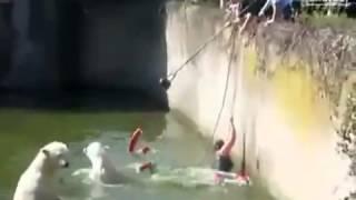 Mulher Cai na Piscina de Ursos Polares E é Atacada