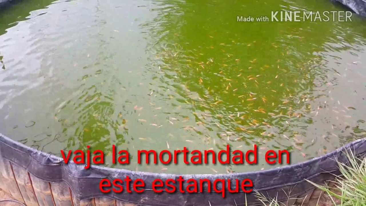 Cr a de tilapia roja en estanque de geomembrana youtube for Cria de tilapia